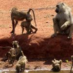Baboons drinking at a waterhole