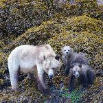 Grizzly-Bären (Ausflug ab Telegraph Cove)