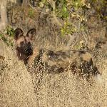 One of the wild dog pack