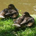 Ducks snoozing by the pond