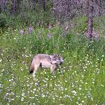 Wolf beside Hwy 93