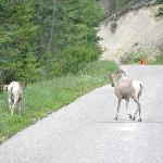 Mountain goats on Madsen Rd