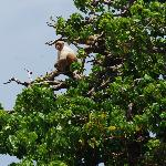Light colored monkey in tree.