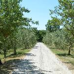 olive drive