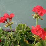 The geraniums on the breakfast terrace