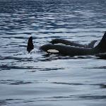 orca pod only a few feet away