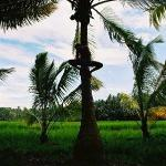 Coconut tree worker