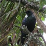 Abundant birdlife - native Tui