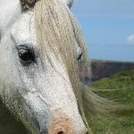 Welsh Mountain Ponies on Pembrokeshire Coast Path