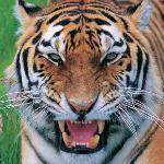 Tiger Head. Blair Drummond Safari Park