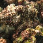 Snorkeling - Stone Fish