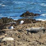 Harbor Seals on rocks opposite BW Fireside