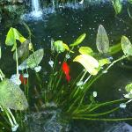 The koi in the waterfall/pond next to the pool.