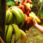Bananas at Campo Duro on Isabela