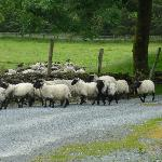 Sheep being headed through the gate