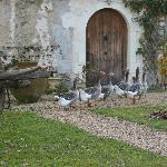 Our geese in front of the cottage