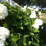 Beautiful hydrangeas this time of year