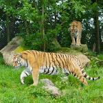 Tigers at close quarters