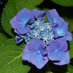 Beautiful Hydrangea in our front yard!