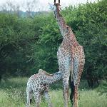 """Foto de safari dentro del Elandela todos los animales """"al natural"""""""