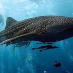 Whale shark spotted by DJL customers on their 4th ever dive!