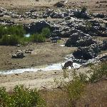 Waterbuck drinking from pond just below lawn