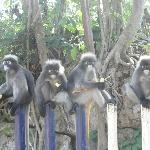 Spectacled Langurs