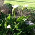 garden-callas
