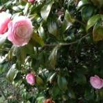 garden-camellias?