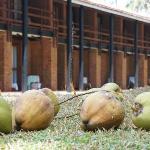 codziennie rano pracownik zzuca owoce z palm, polecam sprobowac:)