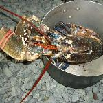 Lobster, caught localy, brought to us still alive
