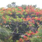 Beautiful flamboyant trees