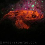 A Fluorescent Scorpion Fish during a fluo night dive, Koh Tao, Thailand