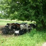 Cows lazing under a tree on a hot day