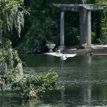 Egret in flight over pond