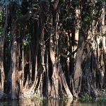 Trees in Rio Negro