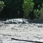 An impressive croc