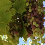 some of the grapes from the arbor outside