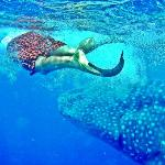 El tiburón ballena. Paseo obligatorio en Holbox