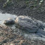 Turtle crawling. Huntley Meadows. Aug 4, 2012