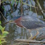 Green Heron. Huntley Meadows. Aug 4, 2012