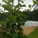 Apple tree besides the beach
