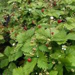 Wild strawberries on the grounds