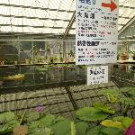 lotus grown in green house, Umi-Jigoku