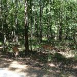 Deer at the Road in Beavers Bend State Park