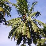 Coconut gatherer on top of palm tree
