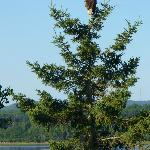 Eagle in tree in front of the house