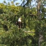One of the four Bald Eagles