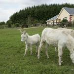 Donkeys in front of Hillview B&B