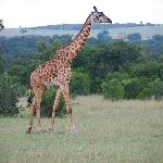 Girafes... you'll see plenty of them